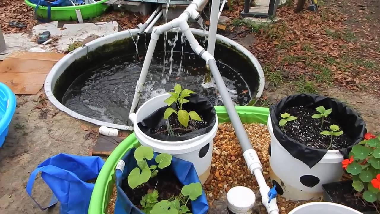 backyard aquaponics tilapia wicking