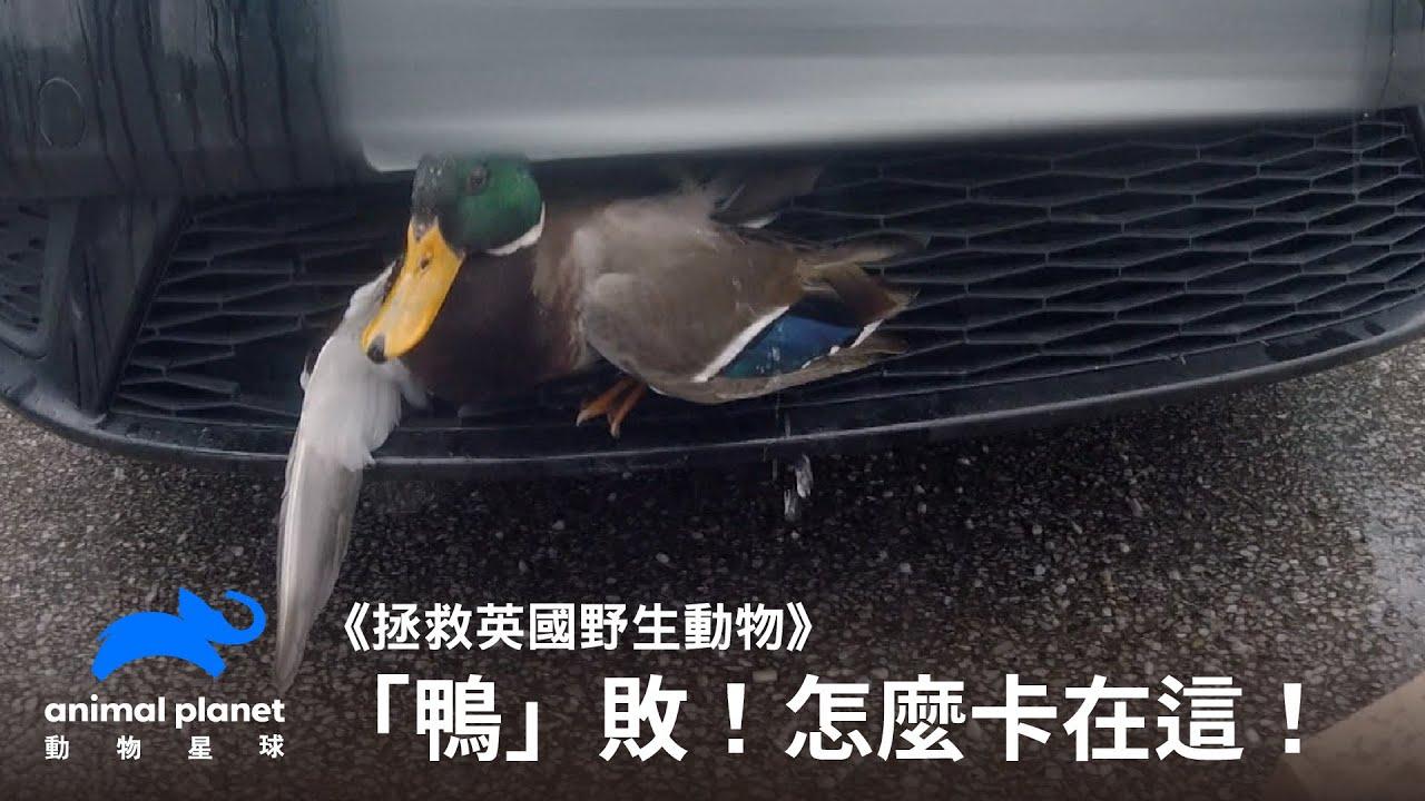 「鴨」敗!卡在車子水箱護罩上的幸運鴨|動物星球頻道