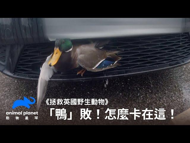 「鴨」敗!卡在車子水箱護罩上的幸運鴨 動物星球頻道