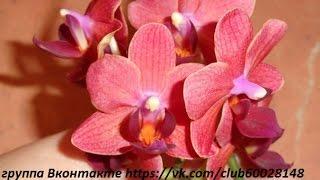 мини орхидея реанимашка mini orchid(2 вторая мини орхидея реанимашка... группа Вконтакте https://vk.com/club60028148 Фейсбук https://www.facebook.com/groups/1532133527045181/, 2014-07-08T17:29:10.000Z)