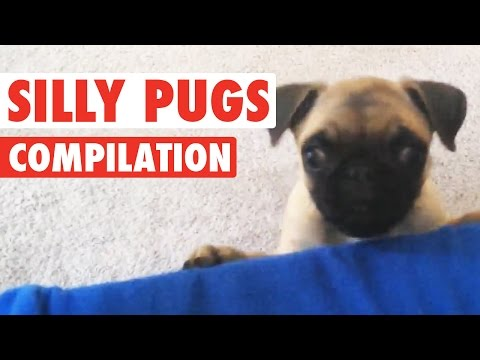 Silly Pugs || Funny Puppy Compilation