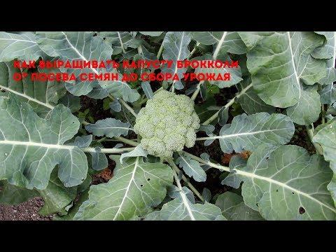 Как выращивать брокколи от А до Я