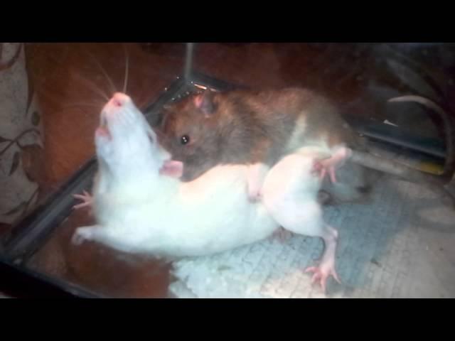 Трахаются крысы