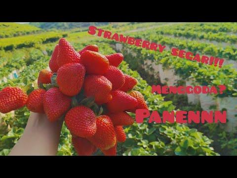 Petik Strawberry Segar Di Ciwidey