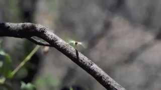Flying Earwig