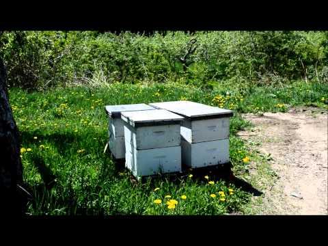 le silence des abeilles pollinisation manuelle doovi. Black Bedroom Furniture Sets. Home Design Ideas