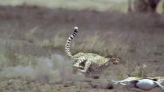 Jäger und Gejagter-Gepard (Slowmotion)