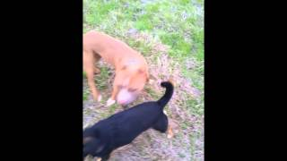 Paisley The Rat Terrier/min Pin Socialization And Off Leash Obedience