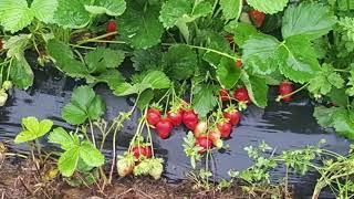 Matt's playtime.  Strawberry picking Yankey Farms Nokesville Virginia miles from Manassas