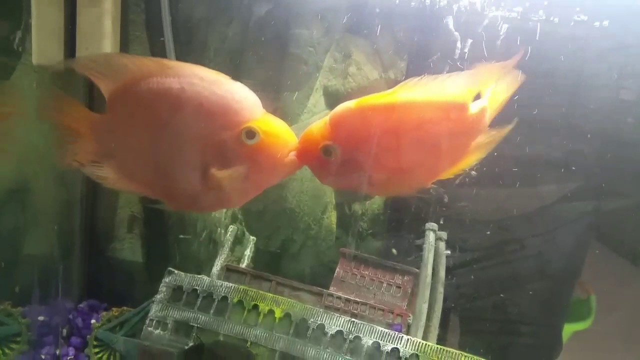 Freshwater aquarium fish mating - Parrot Fish Mating