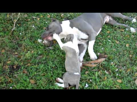 Video 2 Chipita Blue Nose Pitbull Female Puppy for Sale in Fort Lauderdale South Florida