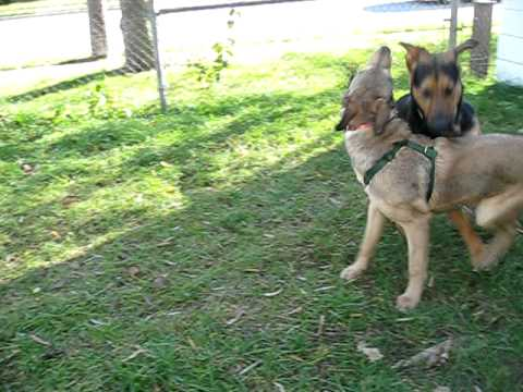 Meet Max (NEW VIDEO) a German Shepherd currently available for adoption at Petango.com! 11/22/2010 1