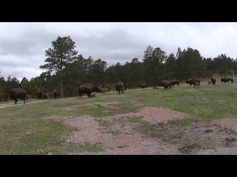 DJI Phantom 2 South Dakota Buffalo Custer State Park