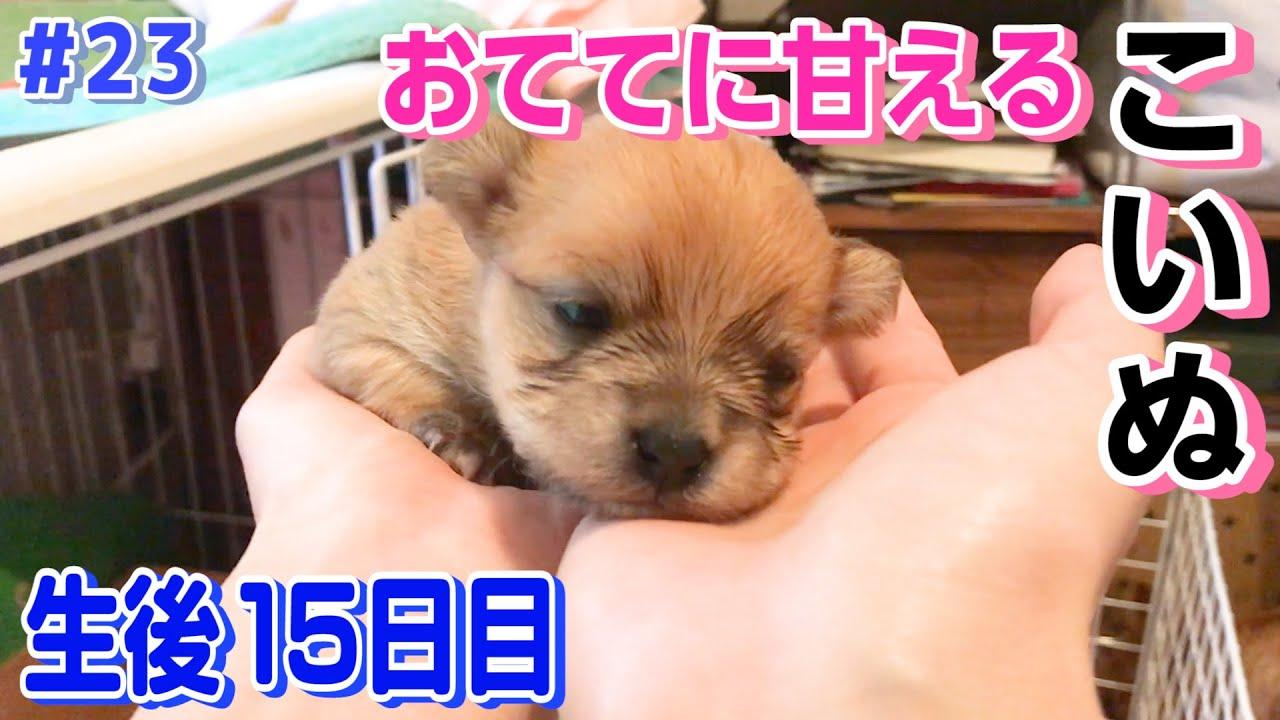 【生後15日目】おててに甘える子犬が可愛すぎた。そして今日も寝床争奪戦。【MIX犬】