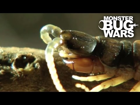 Desert Centipede Vs Trapdoor Spider | MONSTER BUG WARS