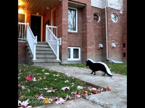 Dog Trick or Treating & Dressed as Skunk