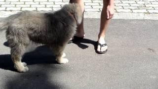 Воспитание щенка. Первые шаги