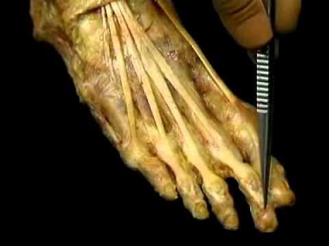 Анатомия человека. Стопа ч.2.