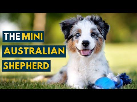 This Is Why The Mini Australian Shepherd Is So Popular!