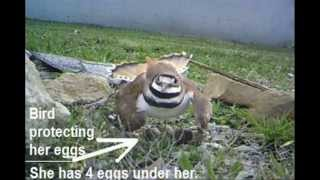 KillDeer bird protecting it