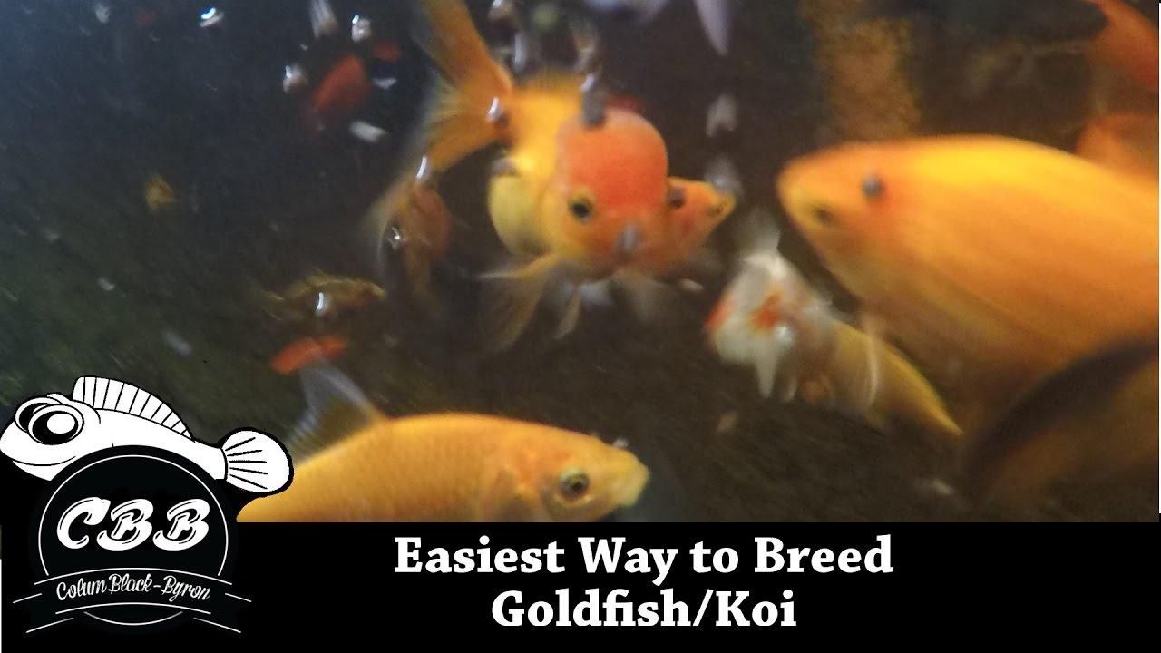 Easiest method to breed goldfish koi no brine shrimp for Koi vs goldfish