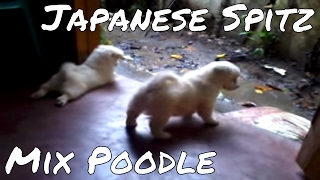 Japanese Spitz X Poodle Puppies Playing
