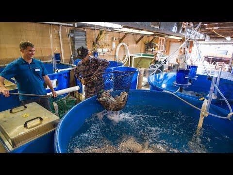 UNH Aquaculture Tilapia Donation
