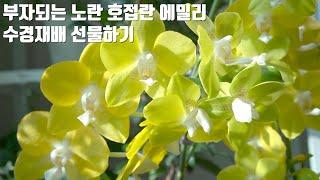 부자되는 식물, 행운이 날아오는 노란 호접란 에밀리 수…
