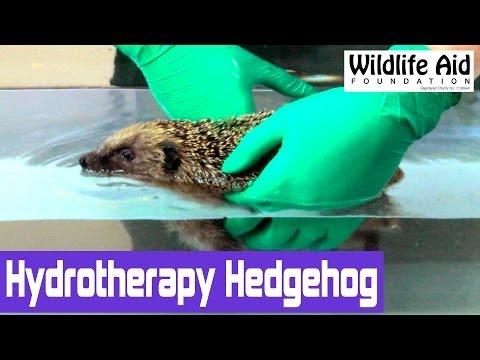 Cute Hedgehog Goes For A Swim!