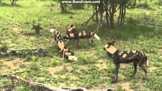 Dzikie psy afrykańskie   przygotowują atak - dziki świat Afryki ,, Safari