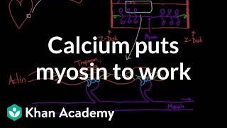Calcium Puts Myosin to Work