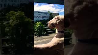 Miniature Bull terrierのトタボルタの満足気な顔を 淡々と撮影しました.