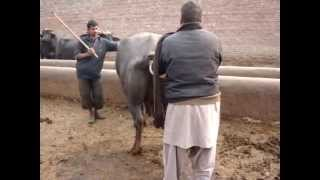 Checking  Buffalo Dairy Farm ,Lahore,Pakistan