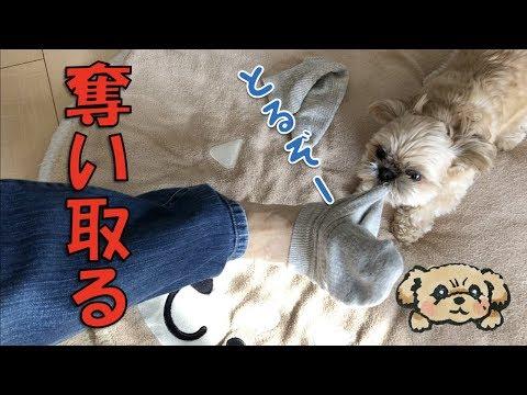 チワシーむぎ「どうしても靴下を脱がせたい子犬 - Puppy wants to pull my socks off - 」の巻