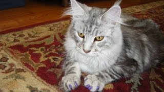 Cat Acne Cause and Cure