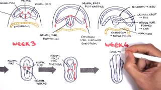 Embryology - Neurulation