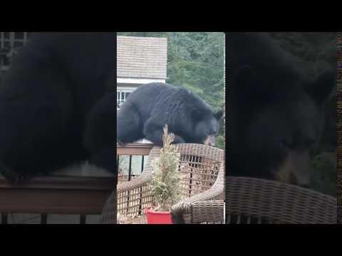 Big Black Bear is Boss of Backyard Brick Barbeque