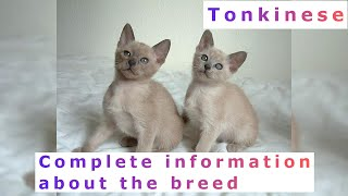 Tonkinese. Pros and Cons, Price, How to choose, Facts, Care, History