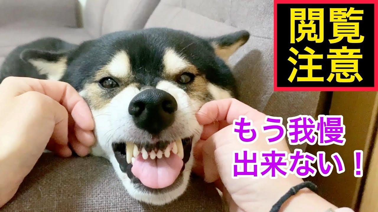 閲覧注意!もう我慢できない柴犬は、こうなります。