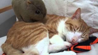 ウォンバットが猫にマッサージ?