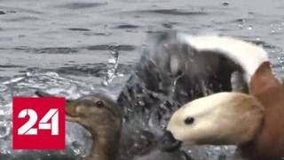 Смотреть видео Прохожие спасли семейство уток от буйного огаря - Россия 24 онлайн