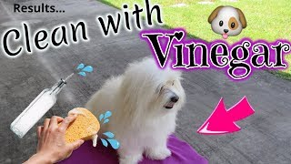 Dog Clean Routine, WHITE DOG, VINEGAR, Coton de tulear I Lorentix