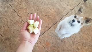 Чихуахуа Гоша ест кабачки/Chihuahua Gosha / Видео
