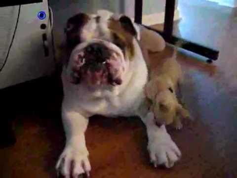 english bulldog chihuahua mix chihuahua vs english bulldog youtube 5453