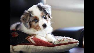 Funniest & Cutest Australian Shepherd Puppies #2  Funny Australian Cattle Dog Puppy Videos 2021