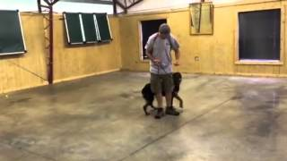 """Rottweiler For Sale """"zion"""" 13 Months Old Obedience Trained"""