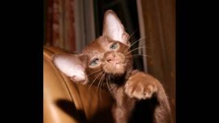 Кошка Фаина и ее котята cat havana brown oriental