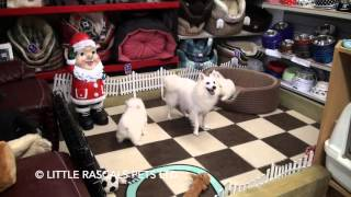 Little Rascals Uk breeders New litter of Japanese Spitz pups and mummy - Puppies for Sale 2015