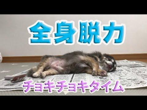 【チワワ】全身脱力チョキチョキタイム / Lazy Grooming Time【犬】