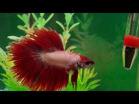 Watch A Male Betta Fighting Fish Show Off